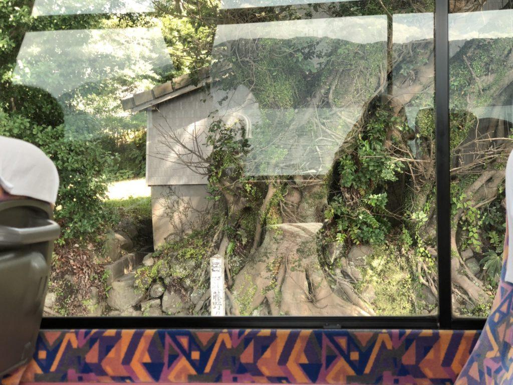 桜島のアコウの木