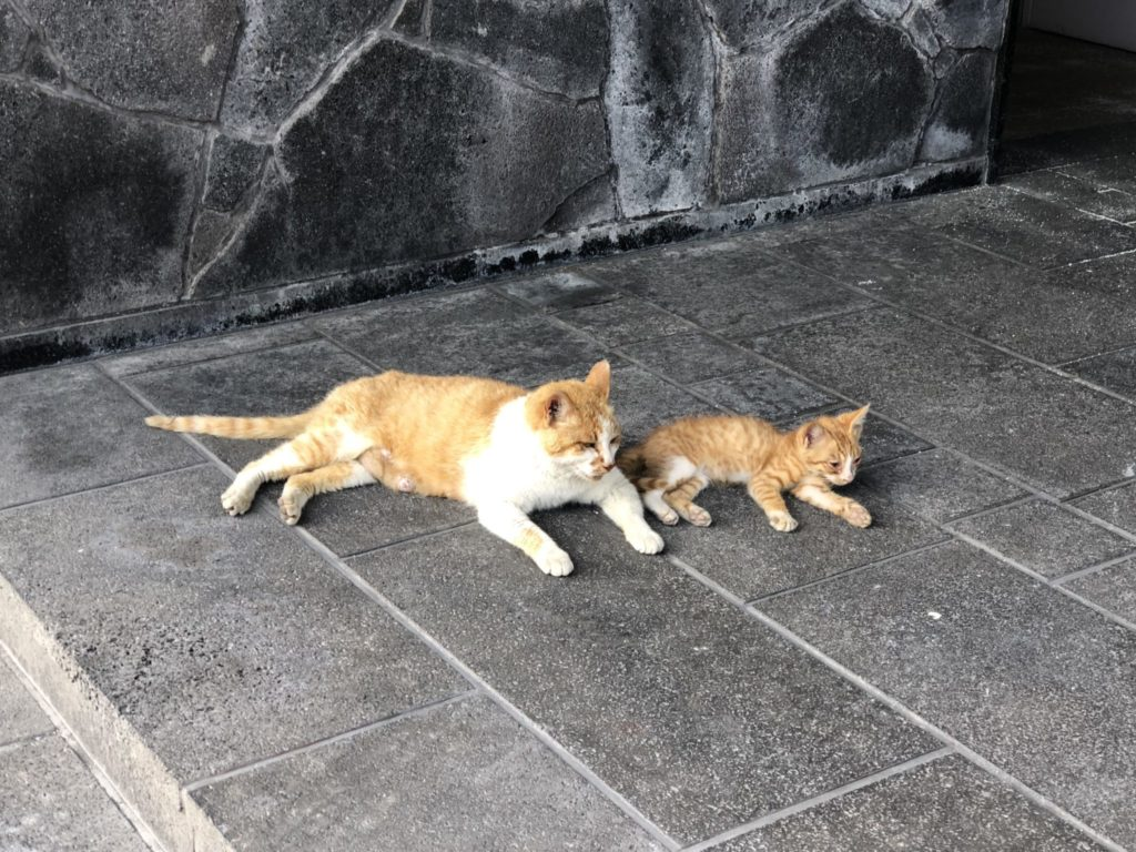 桜島の烏島展望所の猫